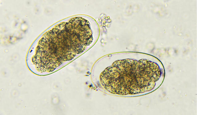 Hookworm, GGA Foster Care and Going Home Protocols
